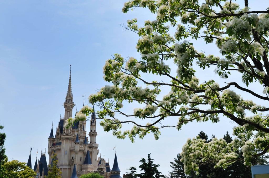 ヒトツバタゴ(5 月上旬~中旬) (c)Disney